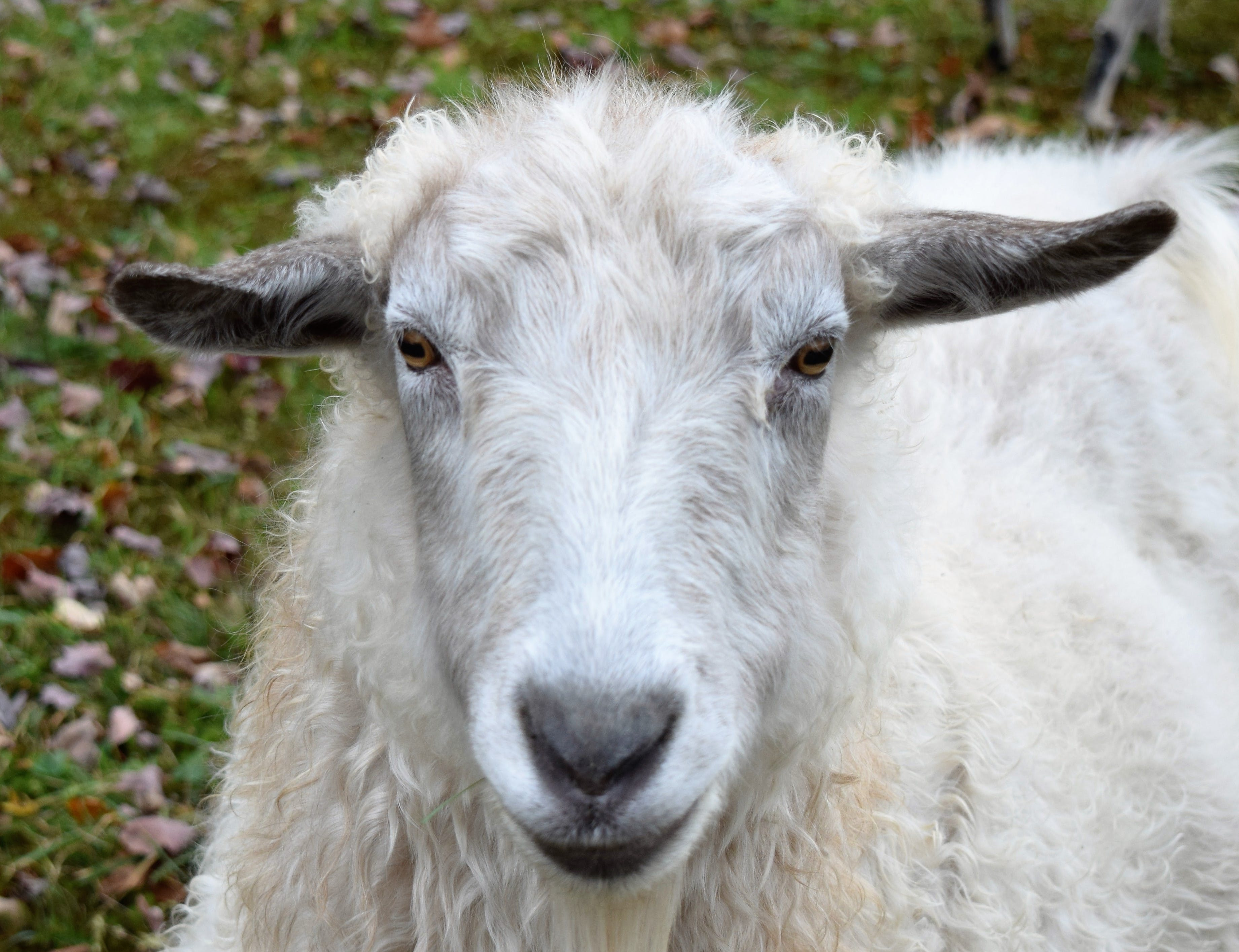 White Sheep on Green Grass