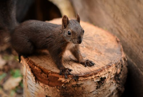 Close-Up Photo of a Brown Squirrel on a Wooden Log