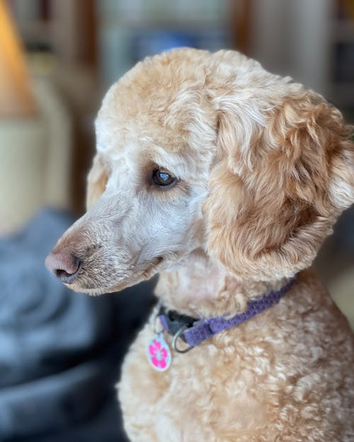 Adorable purebred dog with fluffy coat in collar with pendant looking away in house room