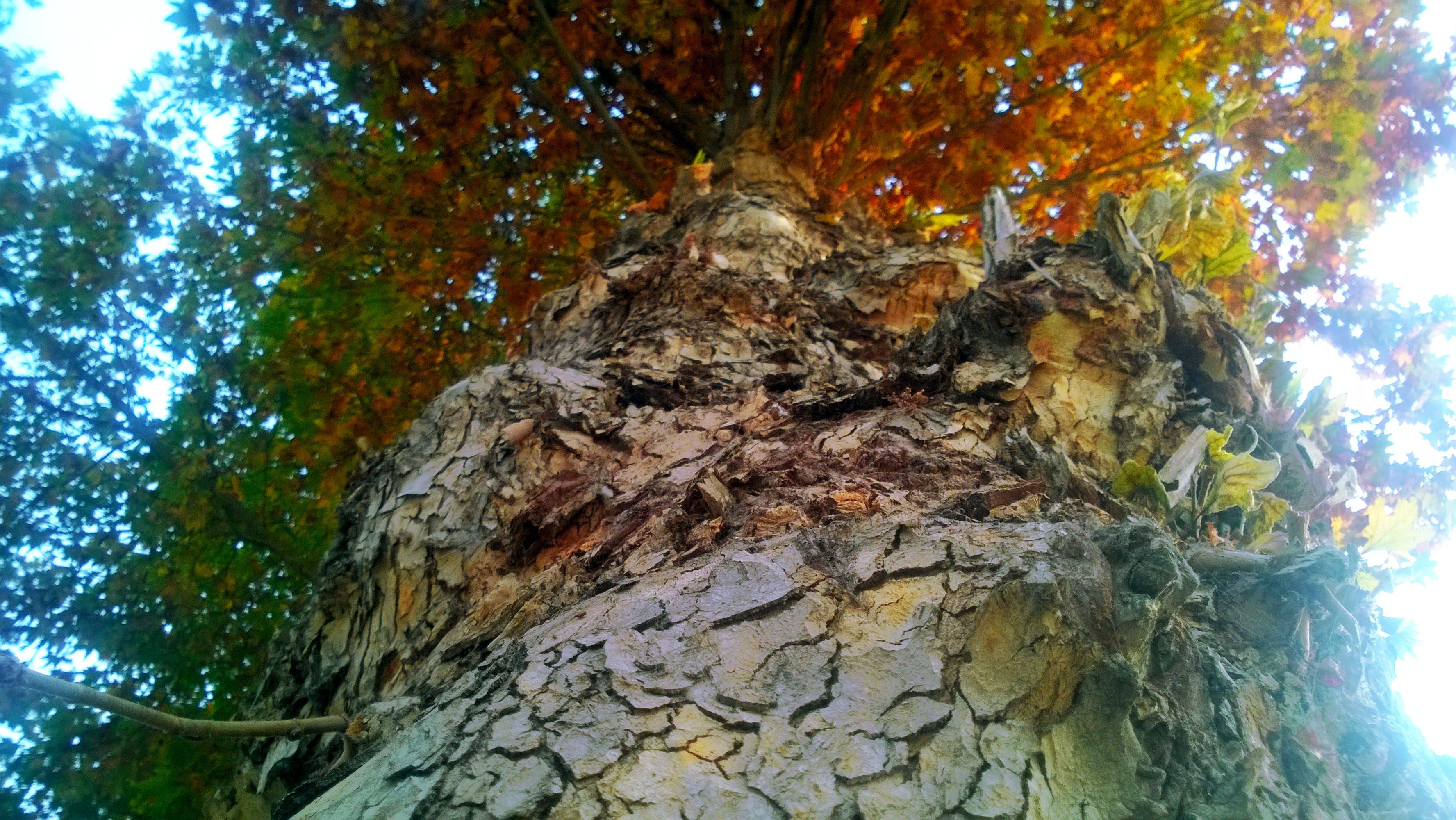 Free stock photo of autumn, chinor, nature
