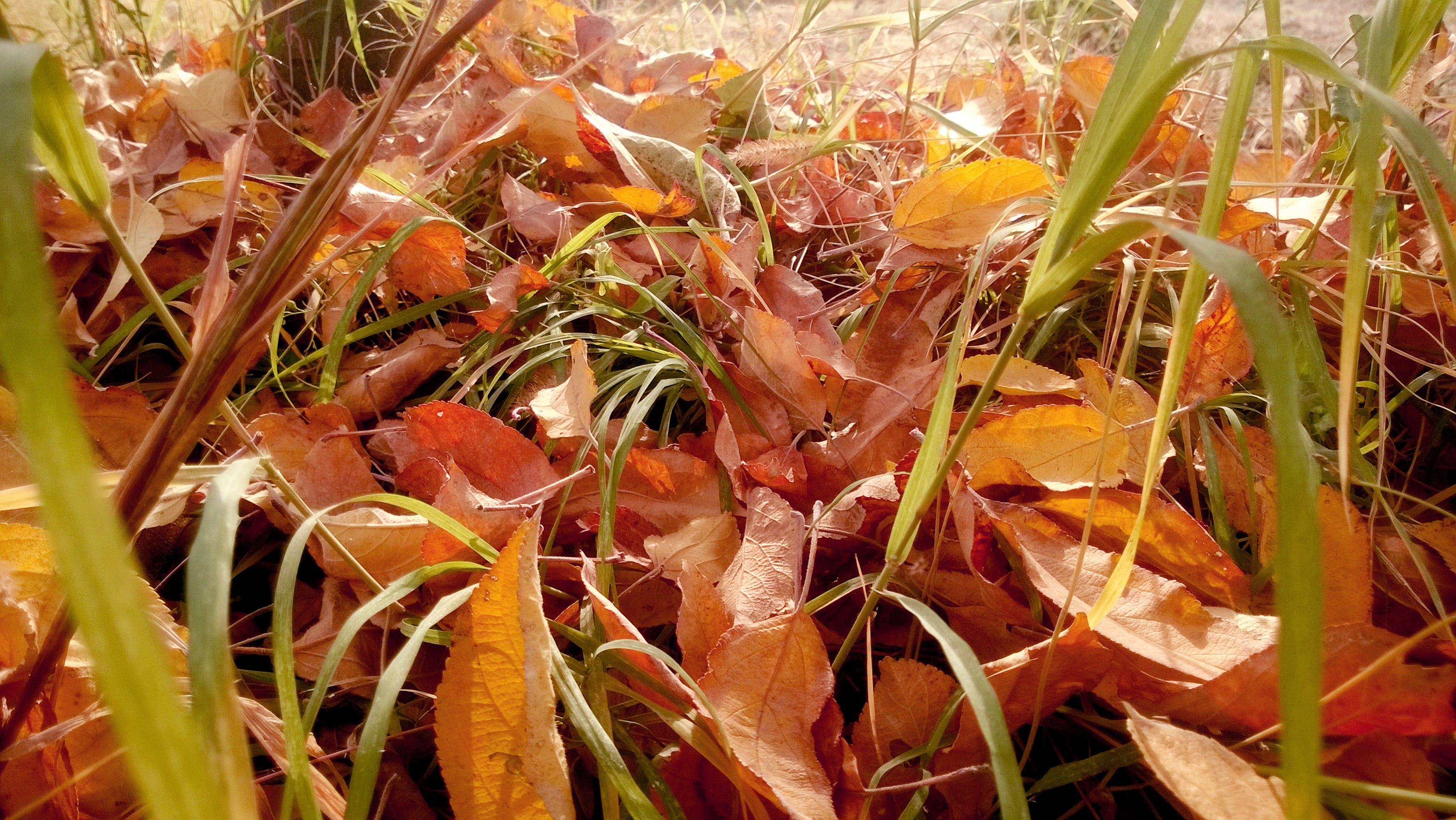 Free stock photo of autumn, autumn colours, leaves