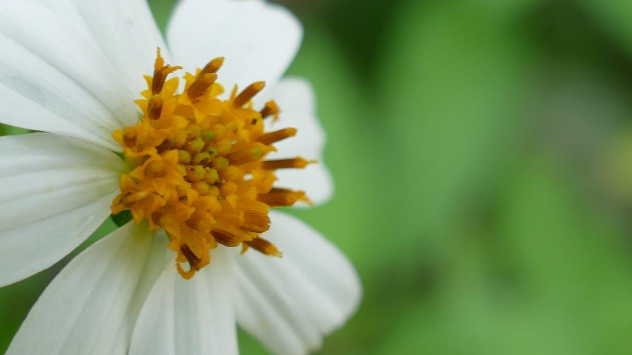Free stock photo of flower, flowers, white flower