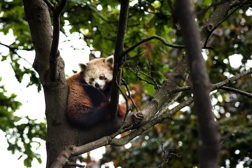 動物, 天性, 小熊貓, 性質 的 免費圖庫相片