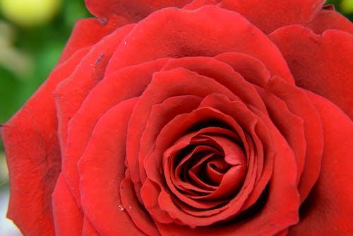 Бесплатное стоковое фото с красный, максросъемка, природа, роза