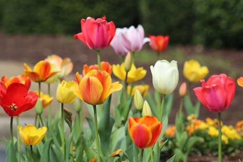 Darmowe zdjęcie z galerii z czerwone tulipany, flora, jasny