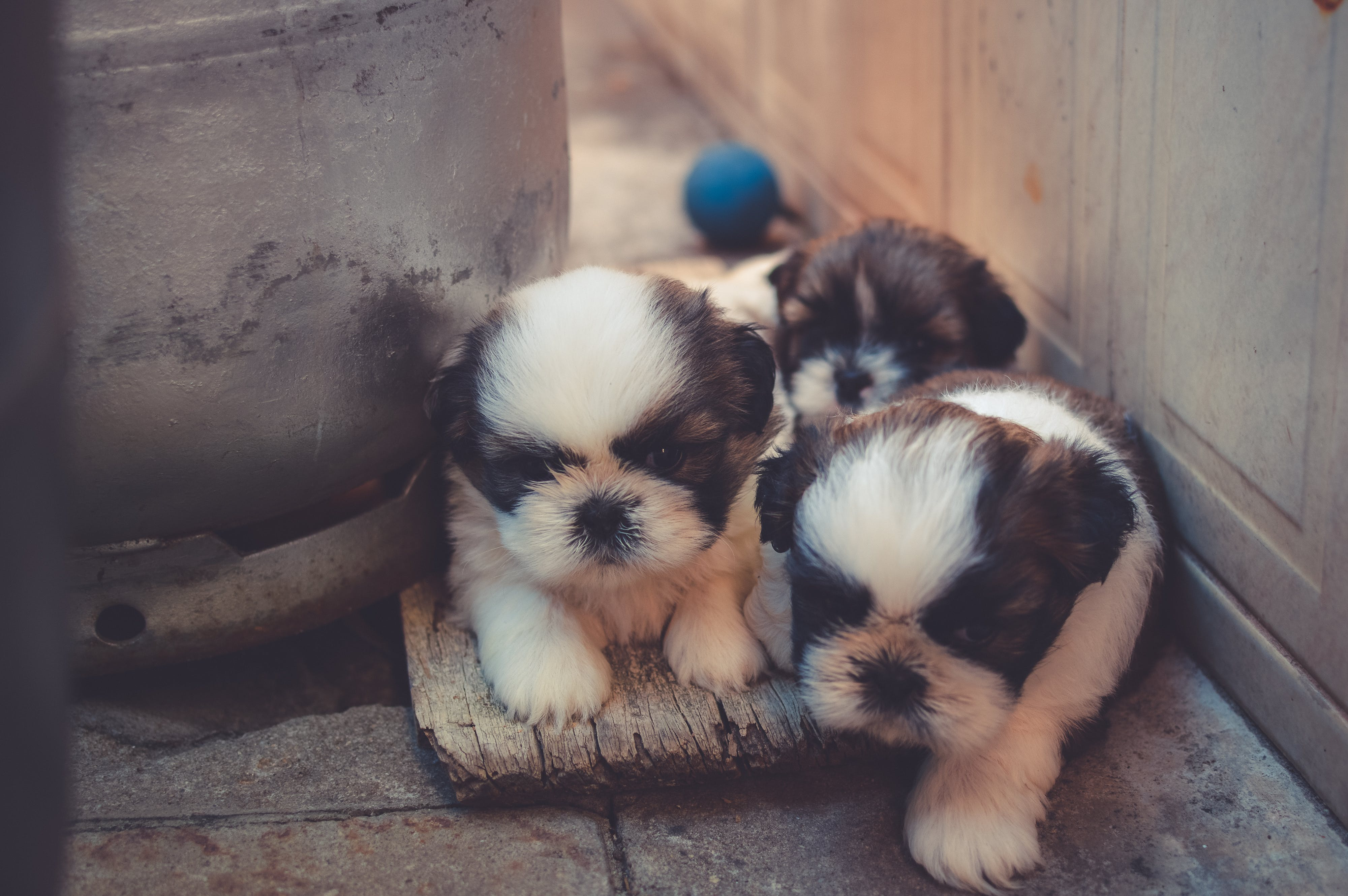 White-and-brown Puppies