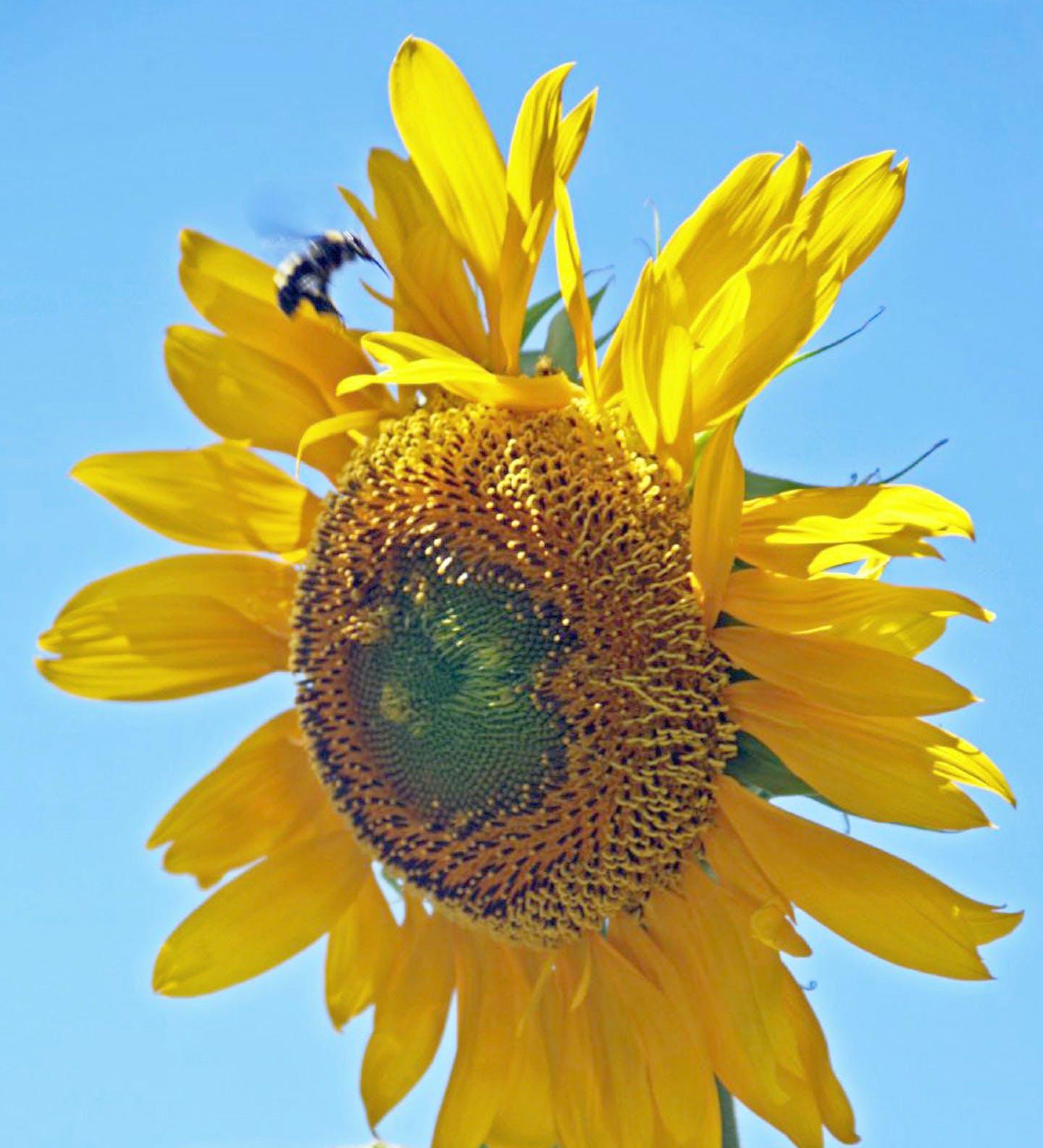 Free stock photo of sunflower