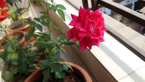 Free stock photo of Rose in Balcony