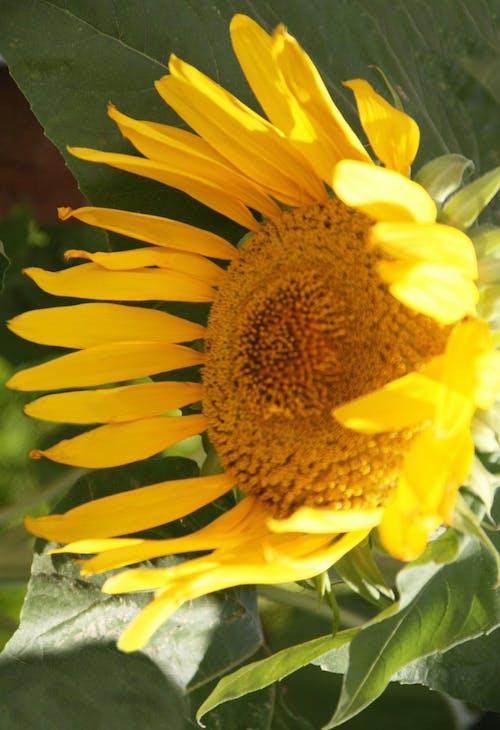 Δωρεάν στοκ φωτογραφιών με ηλιοτρόπιο