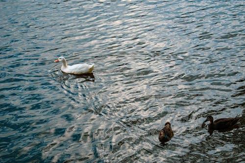 Fotos de stock gratuitas de agua, cisne, curandero