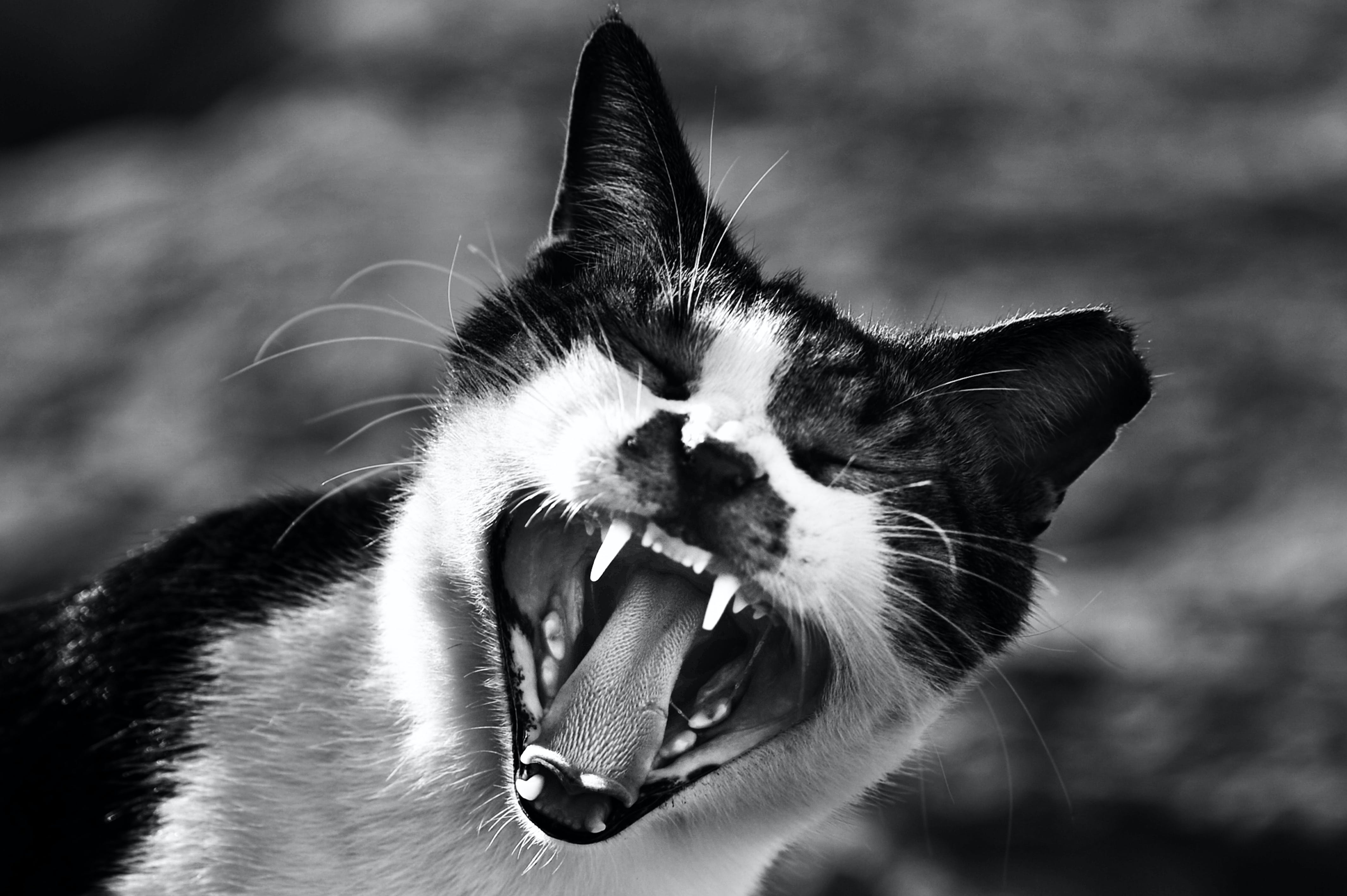 Gray Scale Photo of Cat Showing Mouth