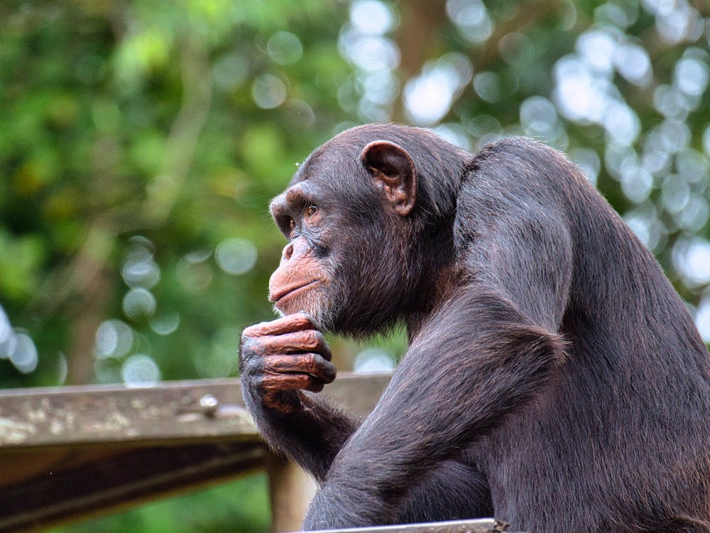 Black Monkey on Brown Wooden Fence