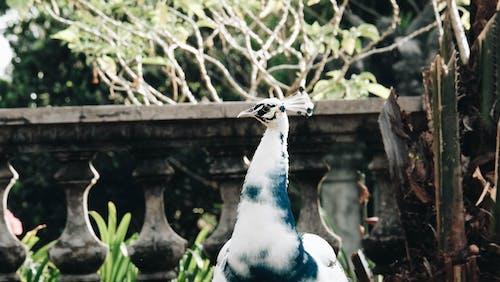 공작, 깃털, 나무, 동물의 무료 스톡 사진