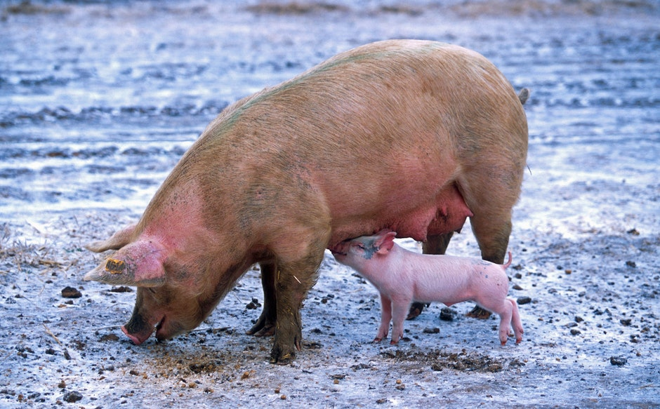 Pink Piglet Sucking on Breast of Brown Pig
