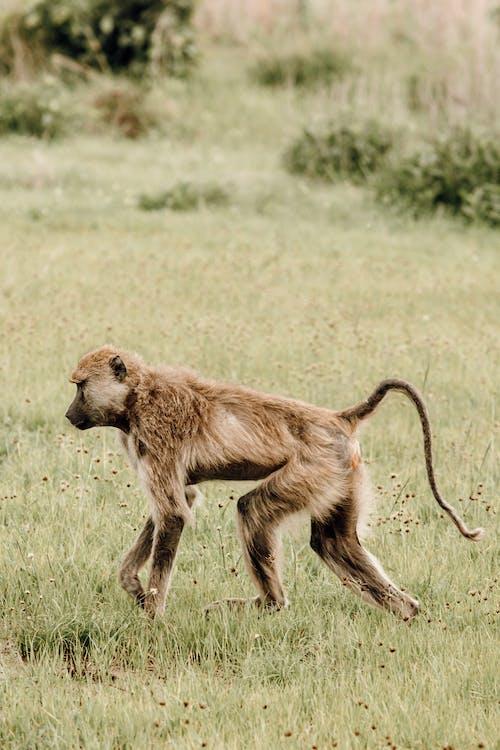 Baboon walking on green meadow in savanna