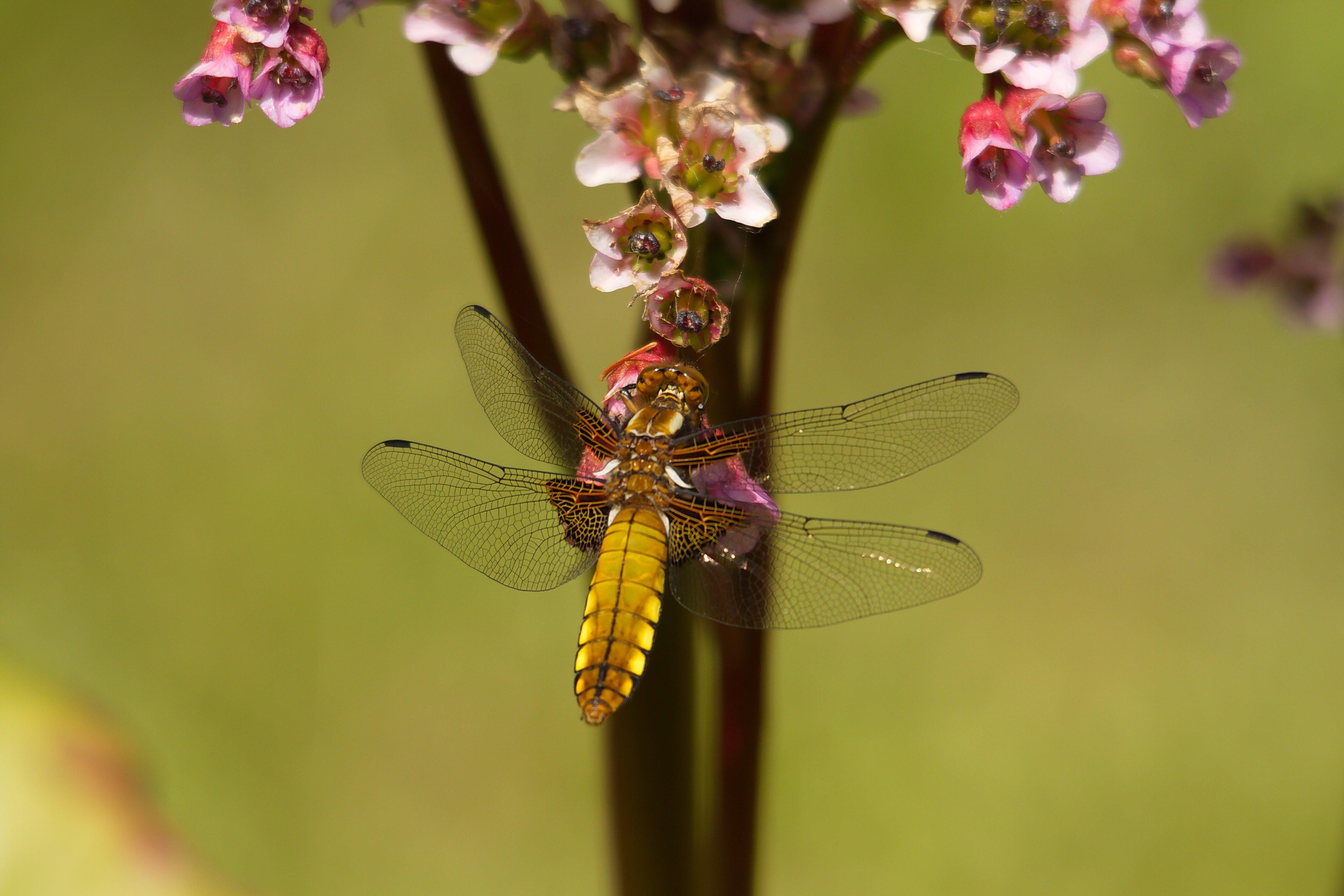 Brown Dragonfly Near Flower