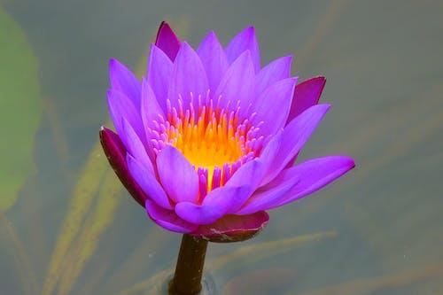 bitki örtüsü, çiçek, Çiçek açmak, Nilüfer içeren Ücretsiz stok fotoğraf