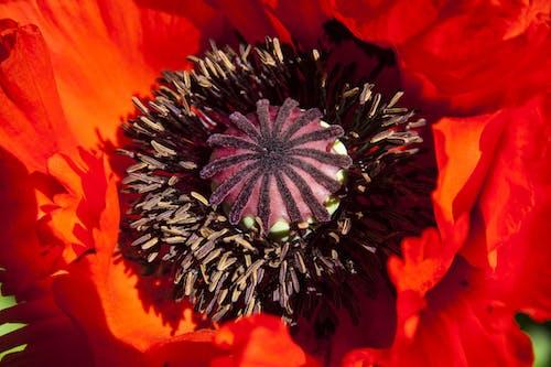 おしべ, フローラ, ポピー, 咲くの無料の写真素材