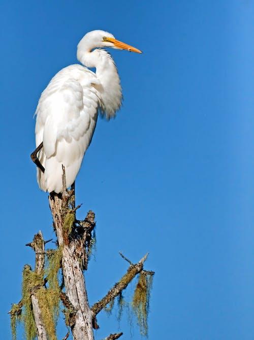 動物, 大白鷺, 天性, 天空 的 免費圖庫相片