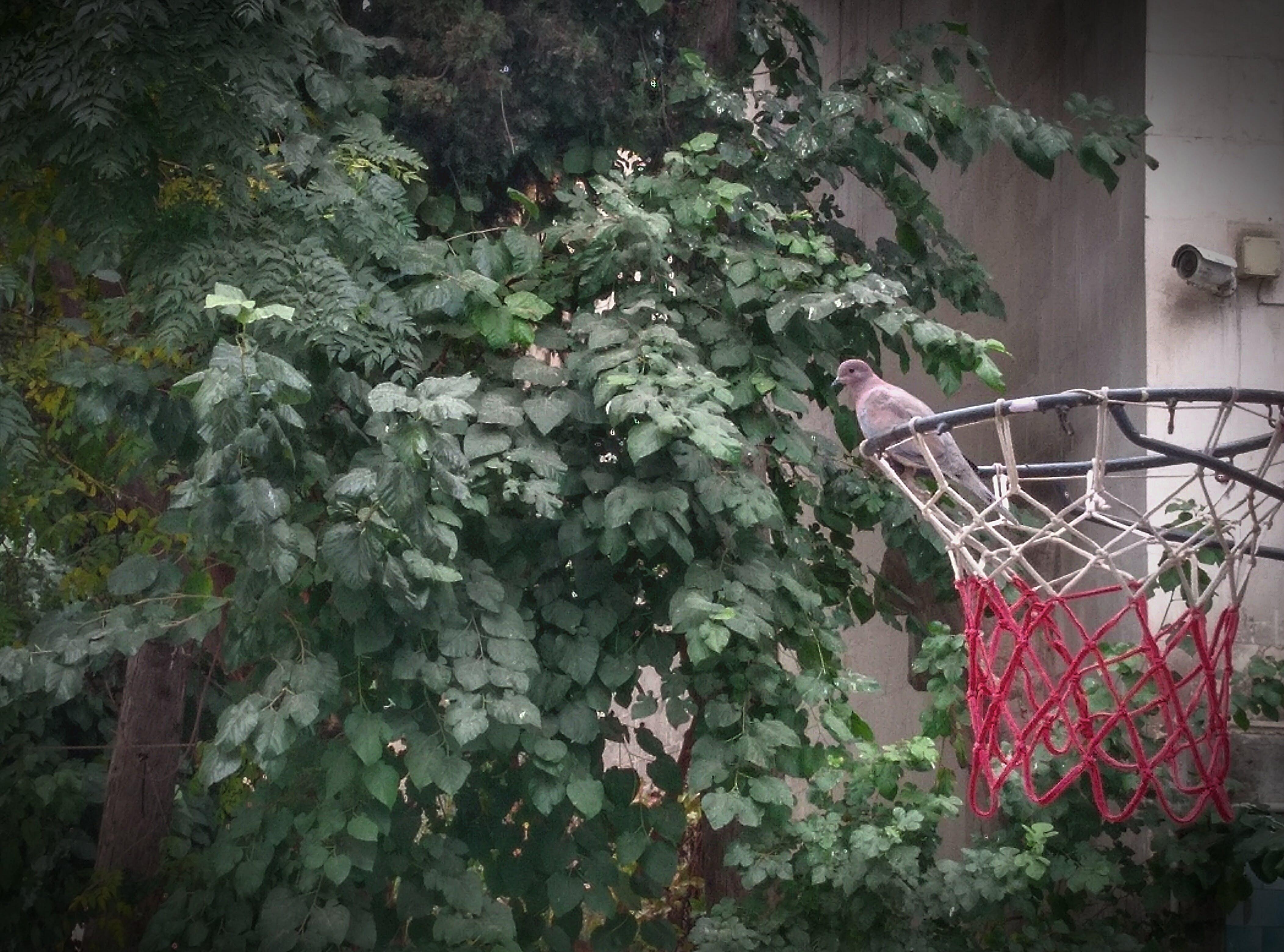 Free stock photo of basketball, bird