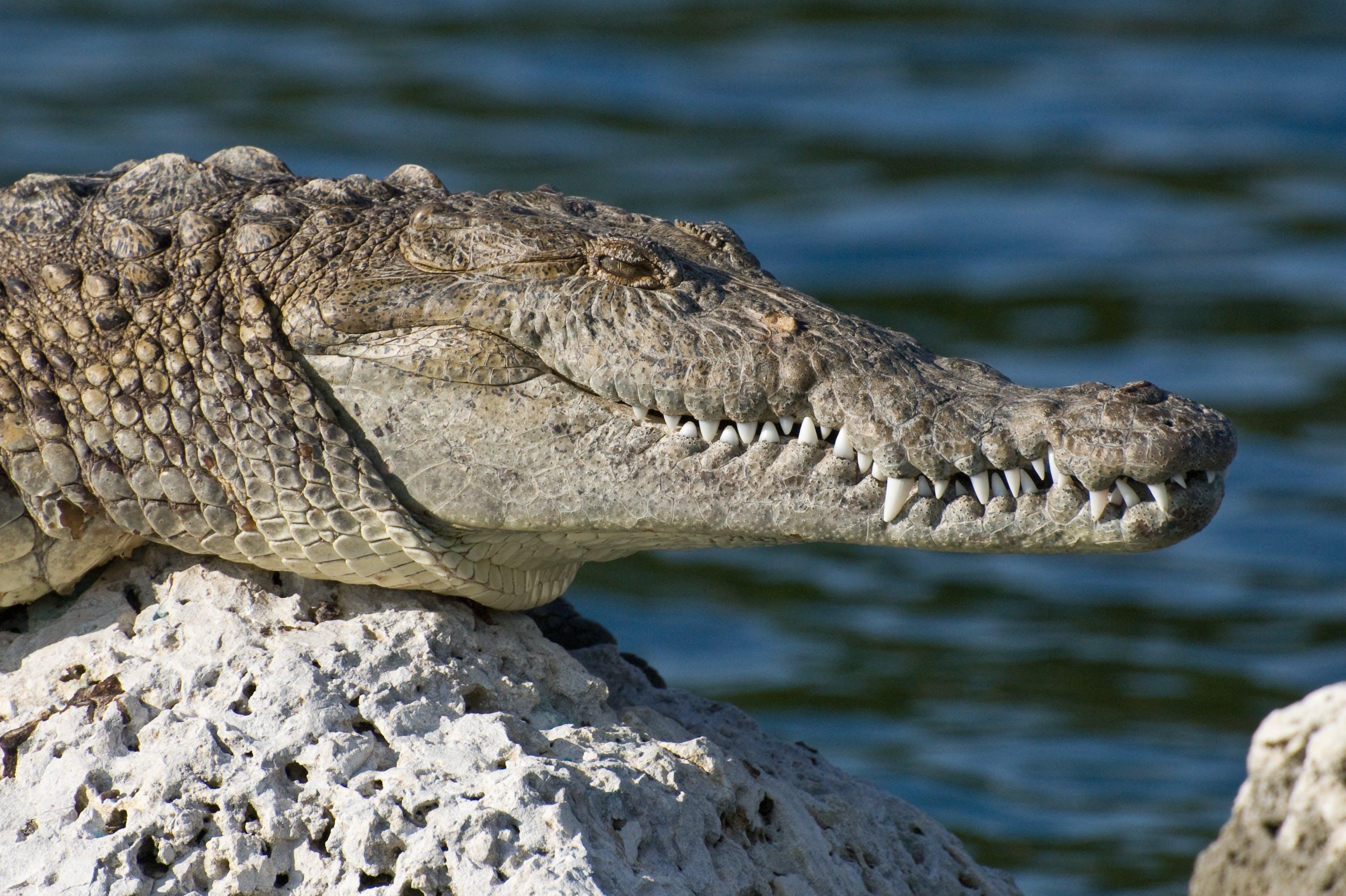 Free stock photo of water, animal, reptile, wildlife