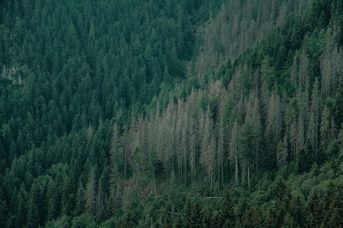 Forest with coniferous trees in nature