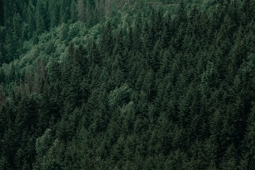 Drone view of fir trees growing in green forest in daytime in nature