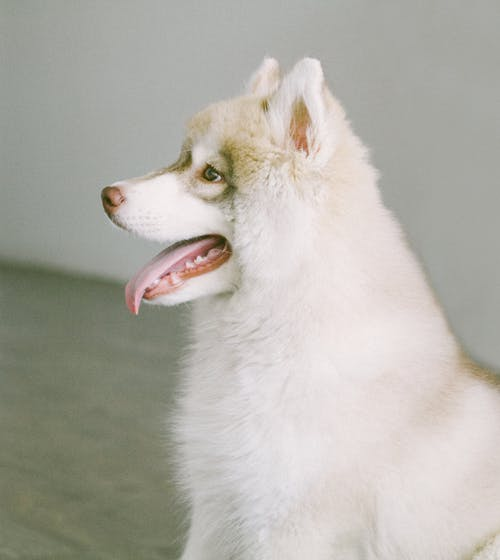 White and Brown Coat Dog