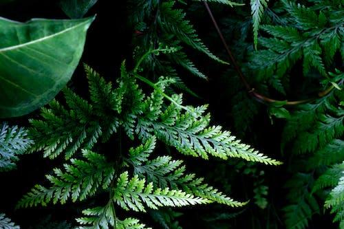 Ảnh lưu trữ miễn phí về dương xỉ, dương xỉ xanh, lá cây dương xỉ