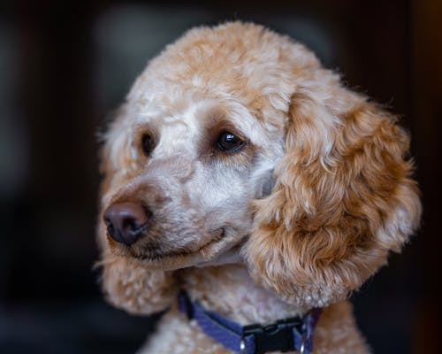 Adorable purebred dog with fluffy beige fur and brown eyes in collar looking away