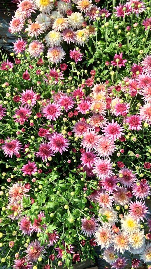 アスター, フラワーズ, 咲くの無料の写真素材