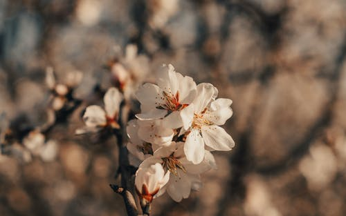 Twigs of tender blossoming almond tree with aromatic white flowers growing in sunny spring garden