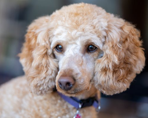 Cute dog with curly beige coat in collar looking away in daytime on blurred background