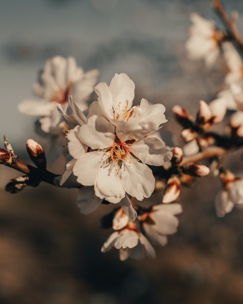 Blossoming almond tree with tender white flowers in garden