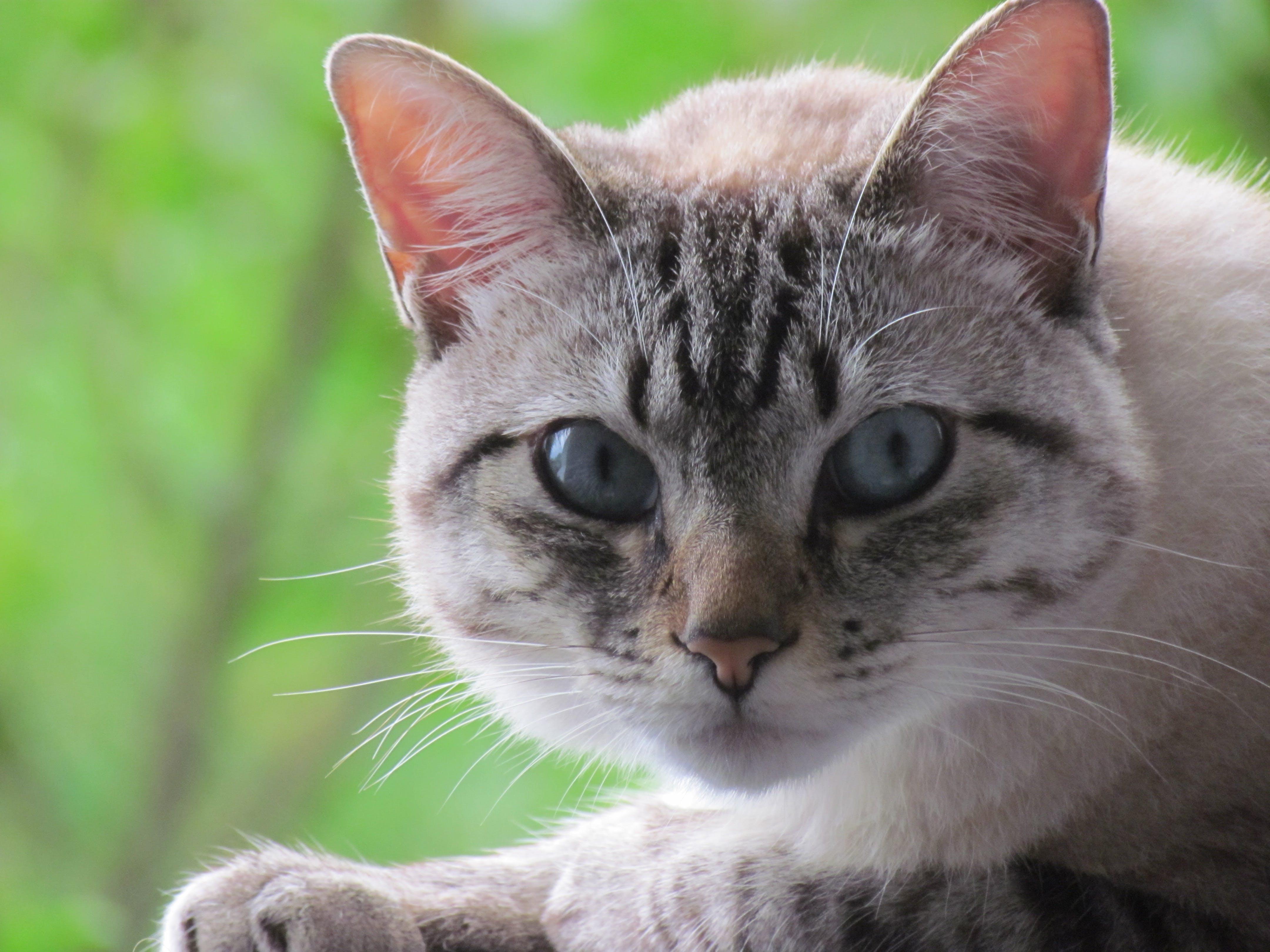 Kostenloses Stock Foto zu blaue augen, hübsch, katze, naturpark