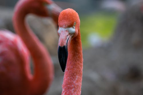Selective Focus Photo of a Pink Flamingo with a Long Neck