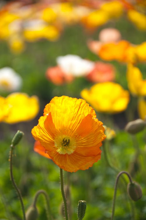 Selective Focus Photography of Orange Poppy Flower Field