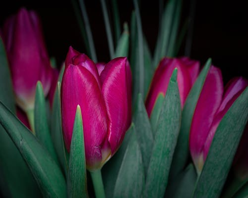 Blooming pink flowers with green foliage and tender buds with pleasant aroma on black background
