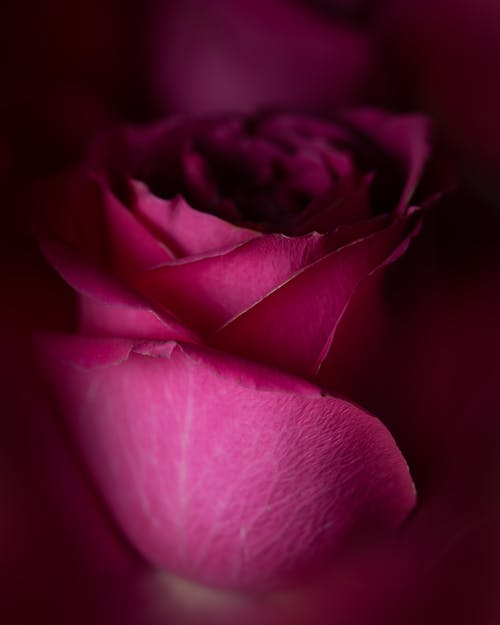 Closeup of blossoming pink flower with wavy gentle petals and pleasant aroma on blurred background