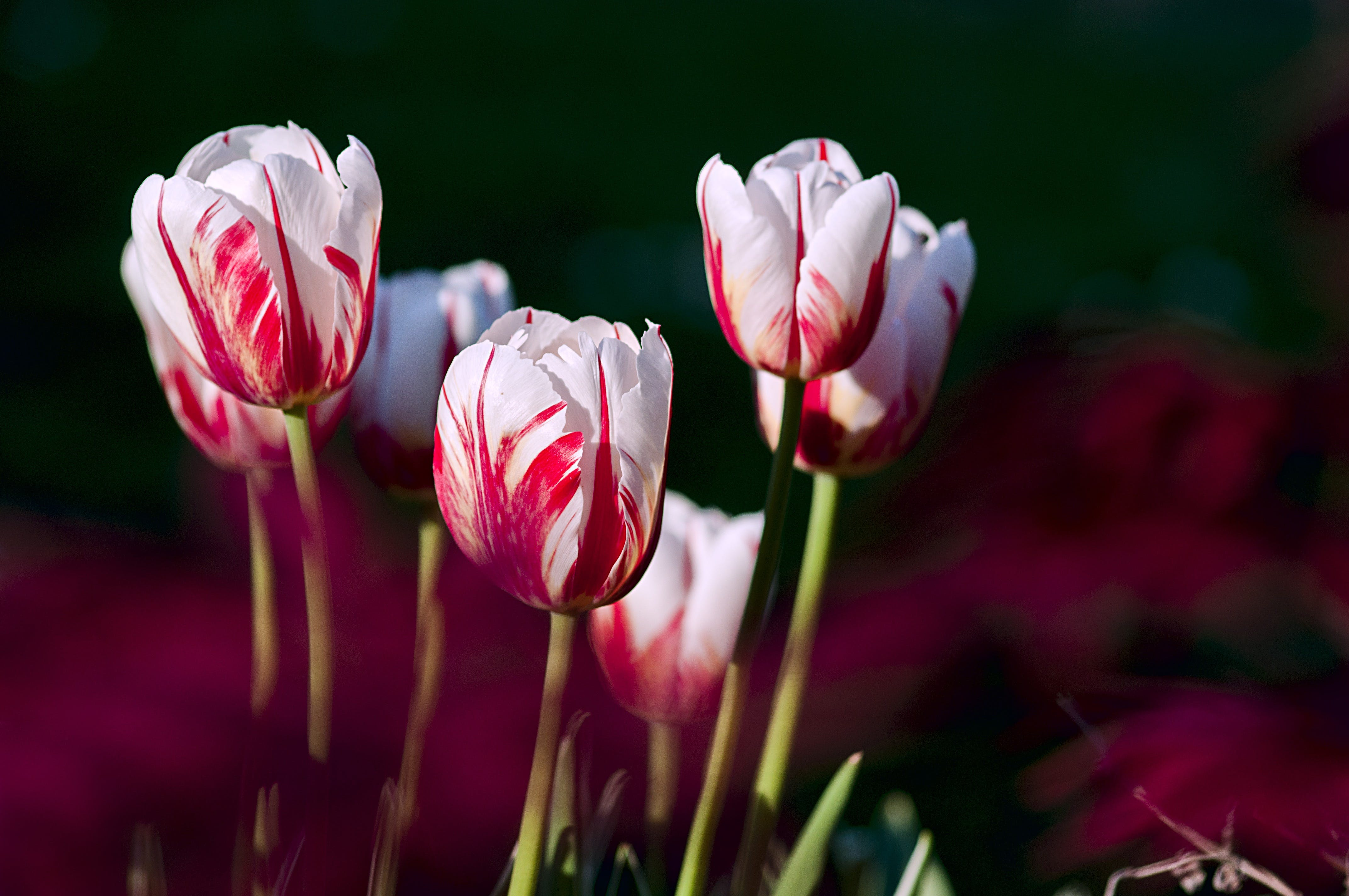White-and-red Tulip Flowers