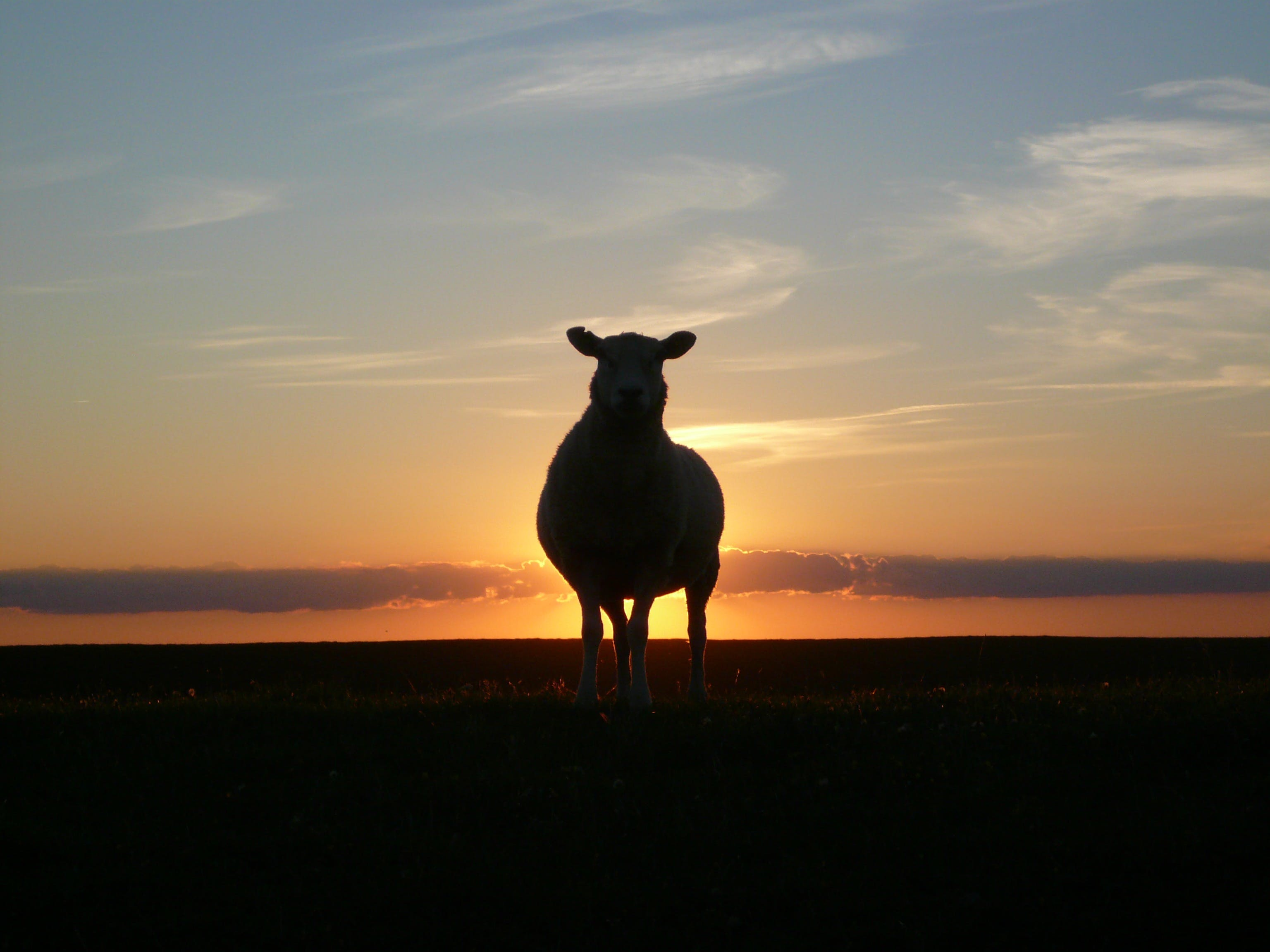 Silhouette of Cow during Sunset