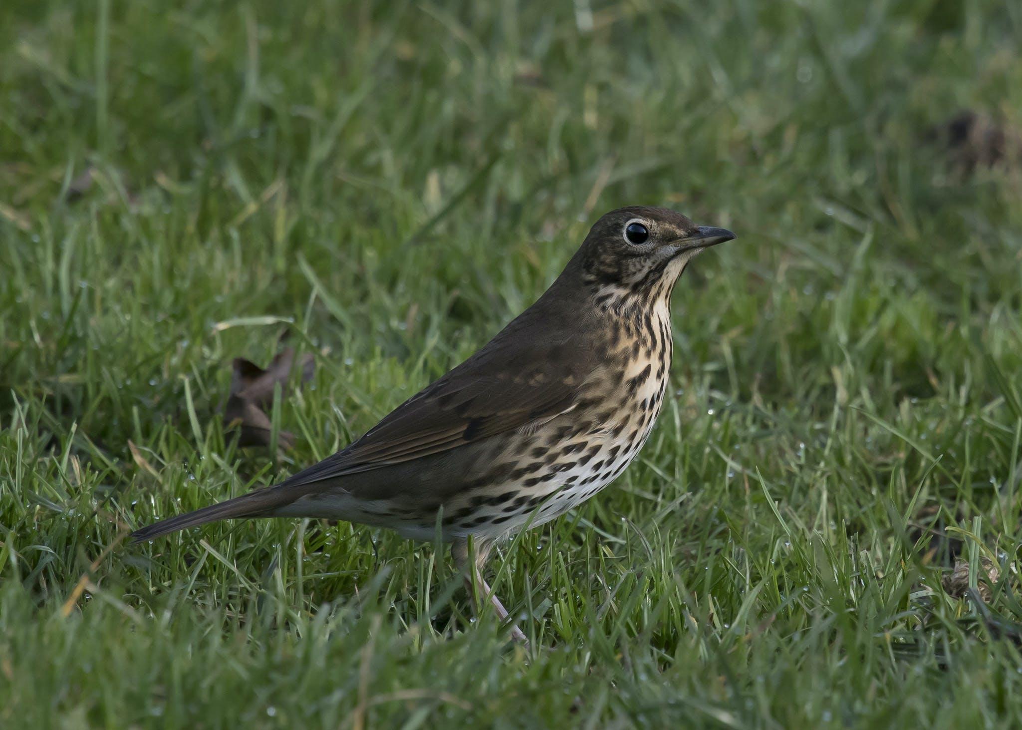 Free stock photo of bird, grassland, Song Thrush, speckled