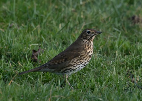 Free stock photo of grassland, Song Thrush, speckled