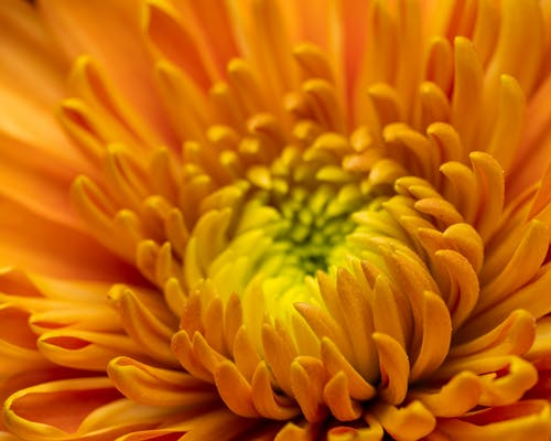 Closeup of blooming orange and yellow flower with wavy petals and gentle bud on blurred background