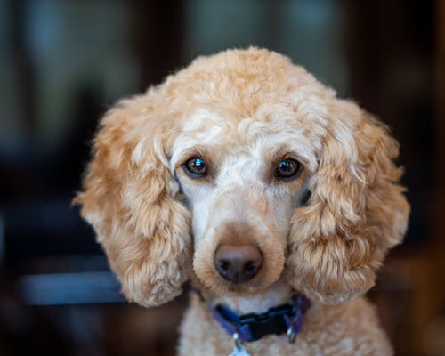 Cute purebred dog with curly beige fur in collar looking at camera on blurred background