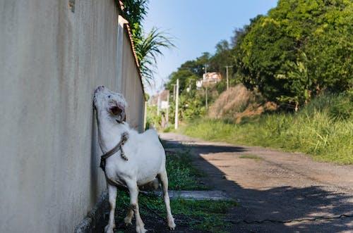 Free stock photo of animal, crazy, goat