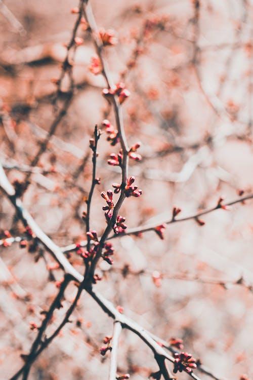 Fotos de stock gratuitas de brote, capullo, flor del ciruelo