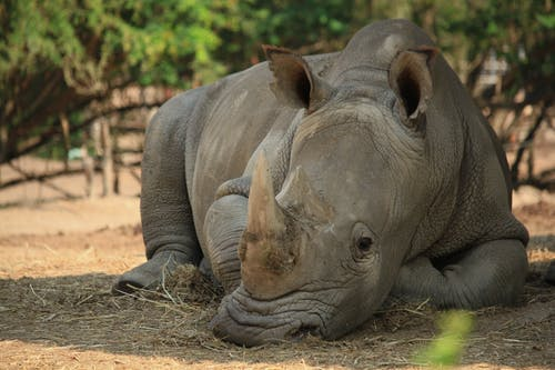 Close-Up Shot of a Rhinoceros Resting on the Ground