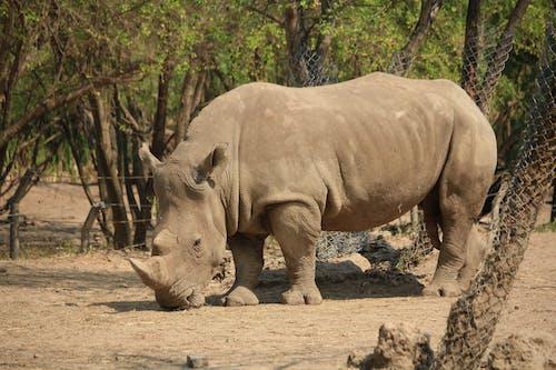 Close-Up Shot of a Rhinoceros