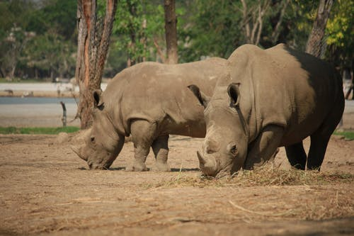 Close-Up Shot of Two Rhinoceros